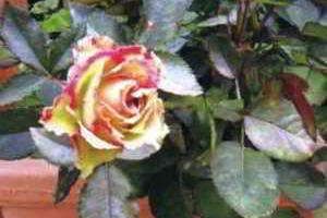 Уход за розами, сорта, обрезка роз