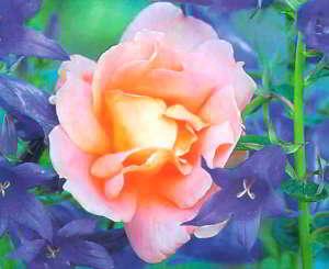 Колокольчики - частые спутники роз