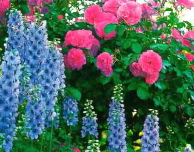 В цветнике с розами дельфиниум