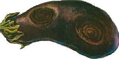 Сухая гниль (фомопсис) - болезни баклажанов