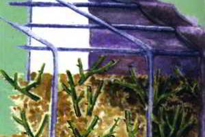 Укрытие роз на зиму, подготовка и обрезка