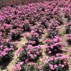 Почвопокровные розы выращивание, посадка и уход