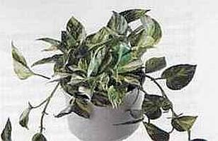 Epipremnum pinnatum Эпипремнум