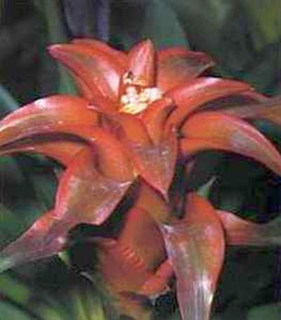 Гусмания (Guzmania lingulata)