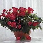 Декоративно-цветущие
