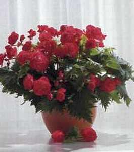Бегония, вечноцветущая, клубневая, уход (Begonia)