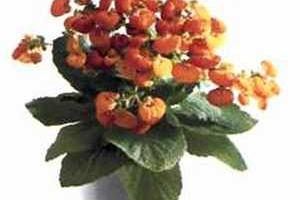 Calceolaria Кальцеолярия
