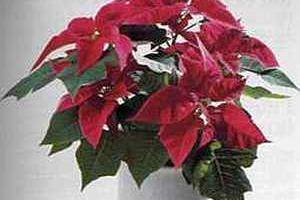 Euphorbia Эуфорбия Молочай, пуансеттия