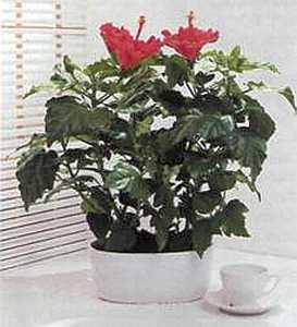 Hibiscus rosa-sinensis Гибискус (китайская роза)