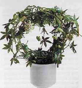 Passiflora Пассифлора, страстоцвет