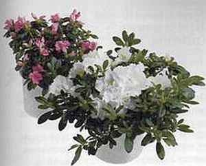 Rhododendron Рододендрон (азалия)