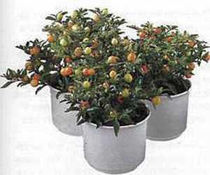 Solanum Паслен
