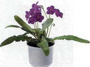 Streptocarpus Стрептокарпус