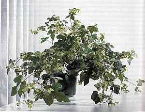 Ampelopsis brevipedunculata Ампелопсис (ложный виноград)