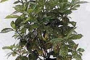 Aucuba japonica Аукуба японская (пальма мясника)