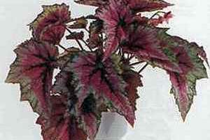 Begonia Rex, бегония королевская уход