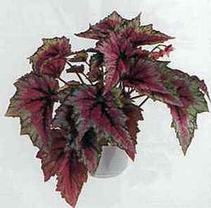 Королевская бегония (Begonia-Rex