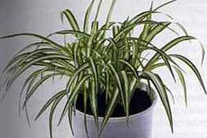 Хлорофитум Chlorophytum comosum