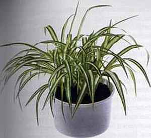 Chlorophytum comosum Хлорофитум
