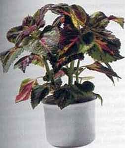 Coleus-Blumei-Hybriden Колеус