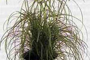 Циперус Cyperus
