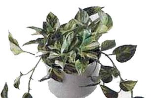 Эпипремнум Epipremnum pinnatum