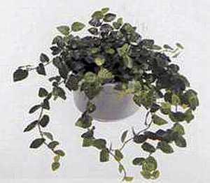 Фикус крохотный (Ficus pumila)