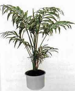 Chamaedorea elegans Хамедорея изящная (горная пальма)