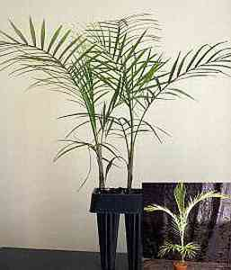 Microcoelum weddelianum Микроцелум (карликовая кокосовая пальма)