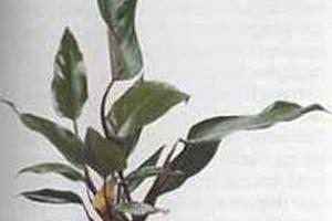 Филодендрон Philodendron