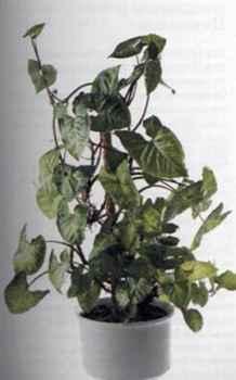 Syngonium Сингониум