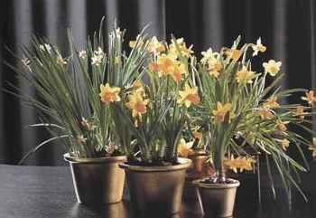 Narcissus Нарциссы