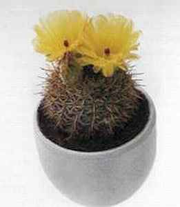 Нотокактус (Notocactus)