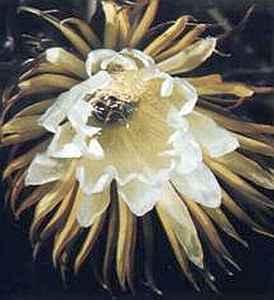 Королева ночи (Selenicereus grandiflorus)