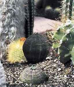 Молочай (Euphorbia obesa)