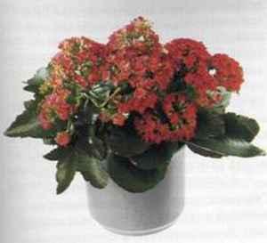 Каланхоэ Блоссфельда (Kalanchoe blossfeldiana) цветущий