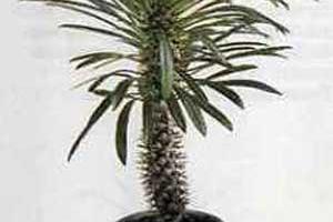 Пахиподиум (мадагаскарская пальма) Pachypodium lamieri