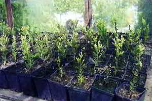 Размножение вечнозеленых растений