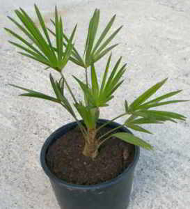 Трахикарпус, веерная пальма