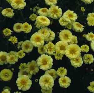 Хризантема корончатая