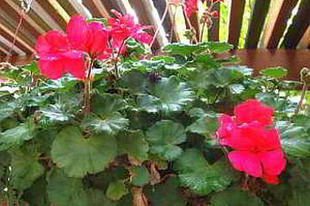 Пеларгония красная - как ухаживать