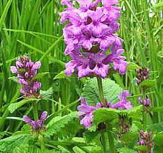 Буквица крупноцветковая, описание, уход за цветком