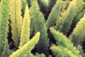 Аспарагус сбрасывает листья