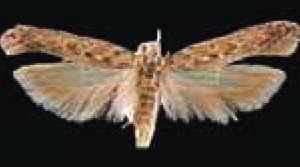Бабочка картофельной моли