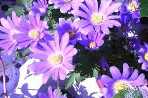 Анемона (ветреница) нежная (Anemona blanda)