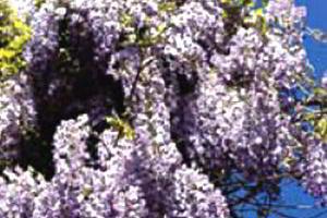 Как укрыть на зиму вьющиеся лианы - клематис, жимолость, пассифлору