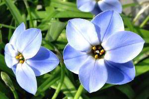 Ифейон одноцветковый