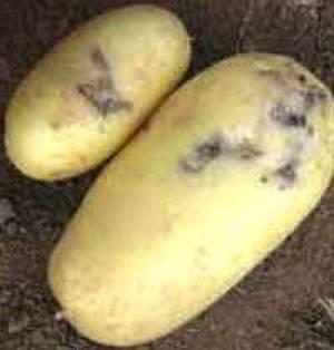 Картофельная моль, фото