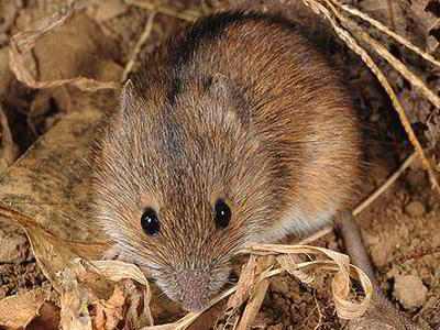 Грызуны на дачном участке, мыши полевки, меры борьбы