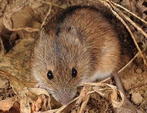 Мыши, полевки